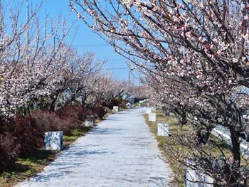 梅の木街道