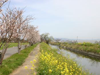 花宗川桜並木