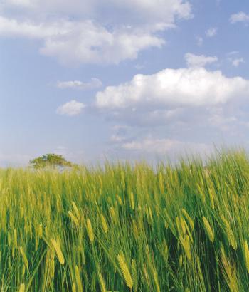 筑後平野の麦畑