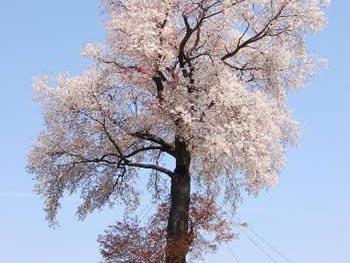 天保古平家一本桜